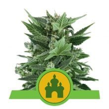 Royal Queen Seeds - Royal Kush Auto autoflowering cannabis seeds (5seeds/pack)