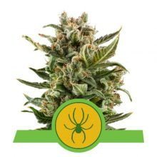 Royal Queen Seeds - White Widow Auto autoflowering cannabis seeds (5seeds/pack)