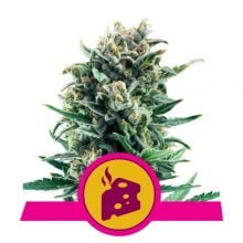 Royal Queen Seeds - Blue Cheese feminized cannabis seeds (5seeds/pack)