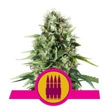 Royal Queen Seeds - Royal AK feminized cannabis seeds (5seeds/pack)