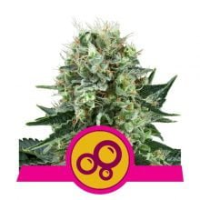 Royal Queen Seeds - Bubble Kush feminized cannabis seeds (5seeds/pack)