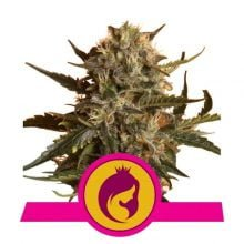 Royal Queen Seeds - Royal Madre feminized cannabis seeds (5seeds/pack)