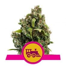 Royal Queen Seeds - Candy Kush Express feminized cannabis seeds (5seeds/pack)