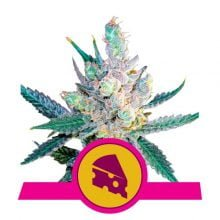 Royal Queen Seeds - Royal Cheese feminized cannabis seeds (5seeds/pack)