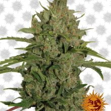 Barney's Farm Triple Cheese (5 seeds pack)