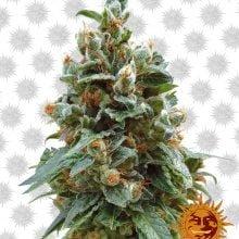 Barney's Farm Vanilla Kush (5 seeds pack)