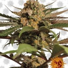 Barney's Farm Violator Kush (5 seeds pack)