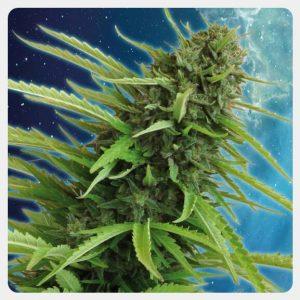 Kannabia - Mataro Blue (5 seeds pack)