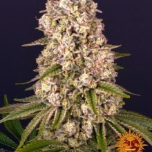 Barney's Farm Tropicanna Banana (5 seeds pack)